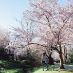 Tourist Free Cherry Blossoms In DC, My Secret Alternative