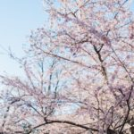 Experience Washington DC's Cherry Blossoms without the Crowds