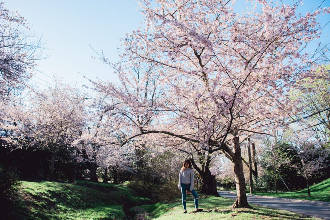 kenwood cherry blossoms 2018