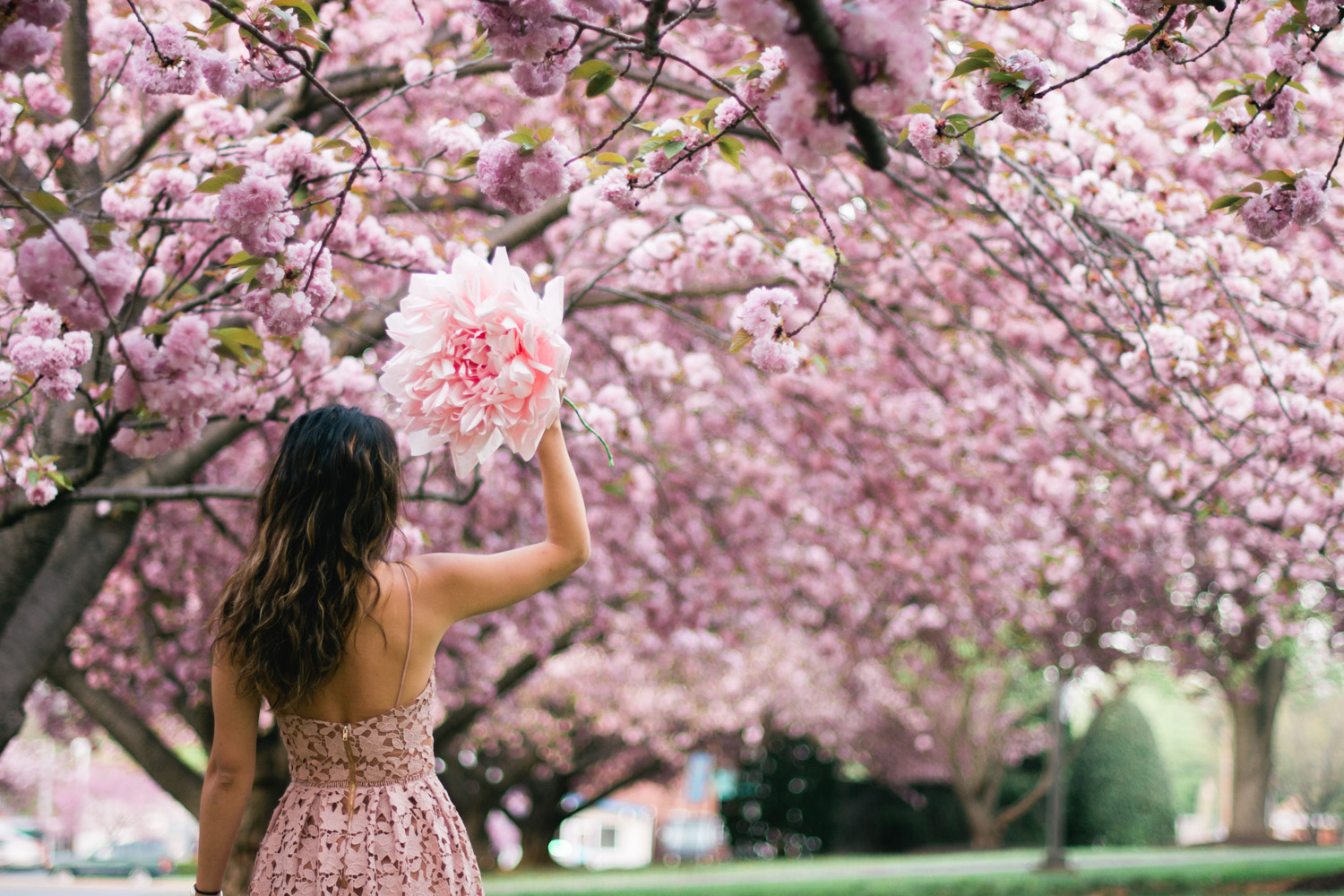 Cherry Blossoms DC If You Miss Peak Bloom