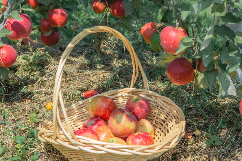 3 Gorgeous Orchards for Apple Picking in Maryland and DC this Fall