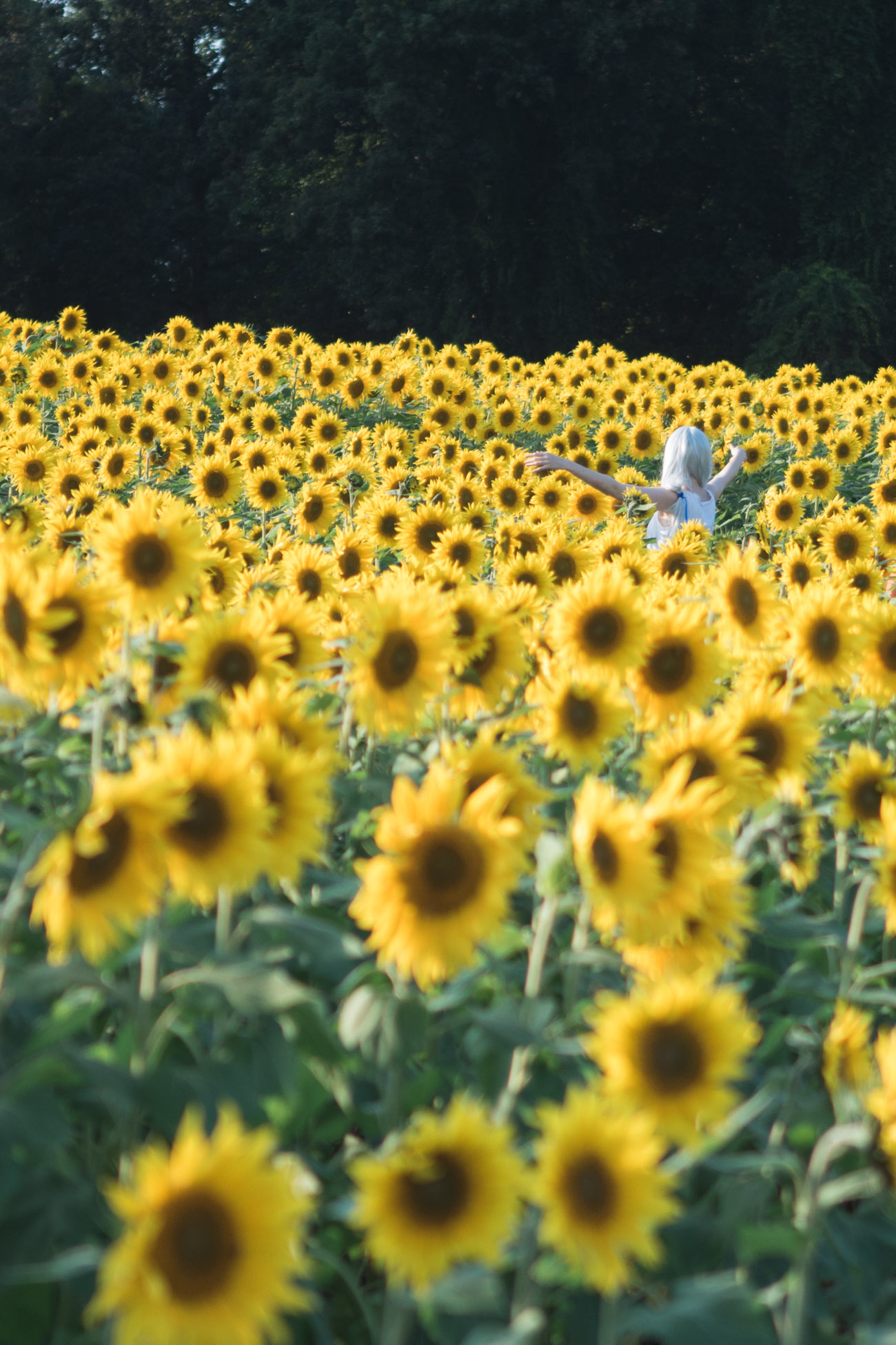 best sunflower field in maryland