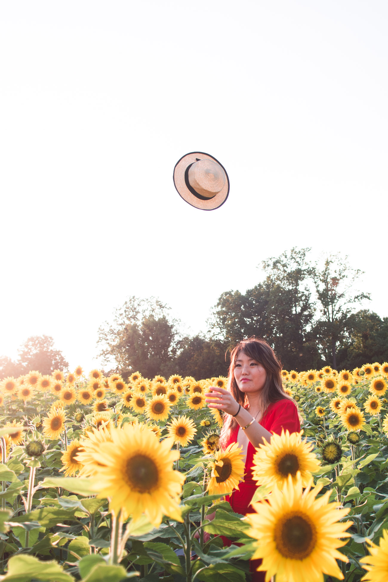 sunflower field in maryland for photos