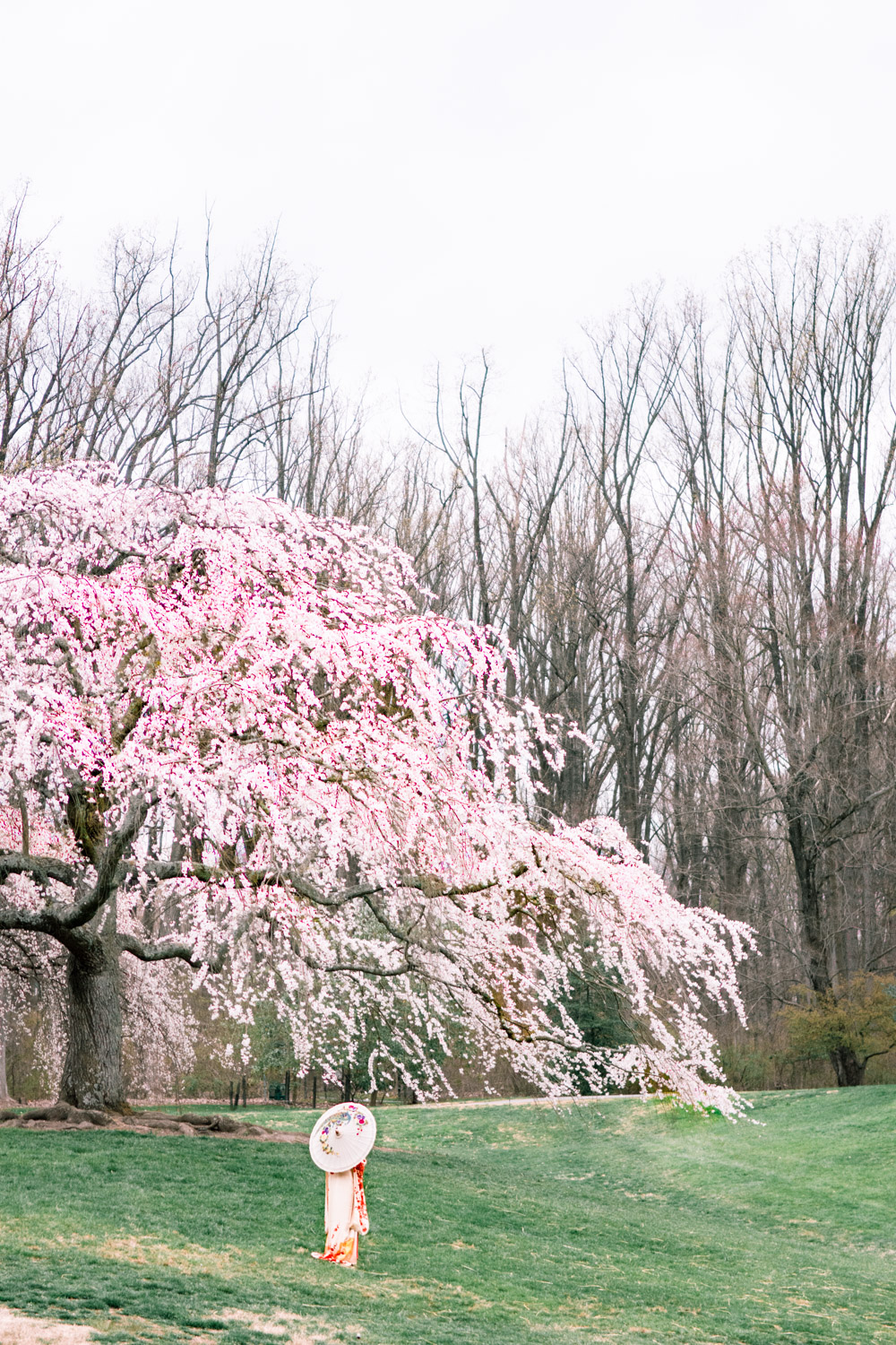 brookside cherry blossoms
