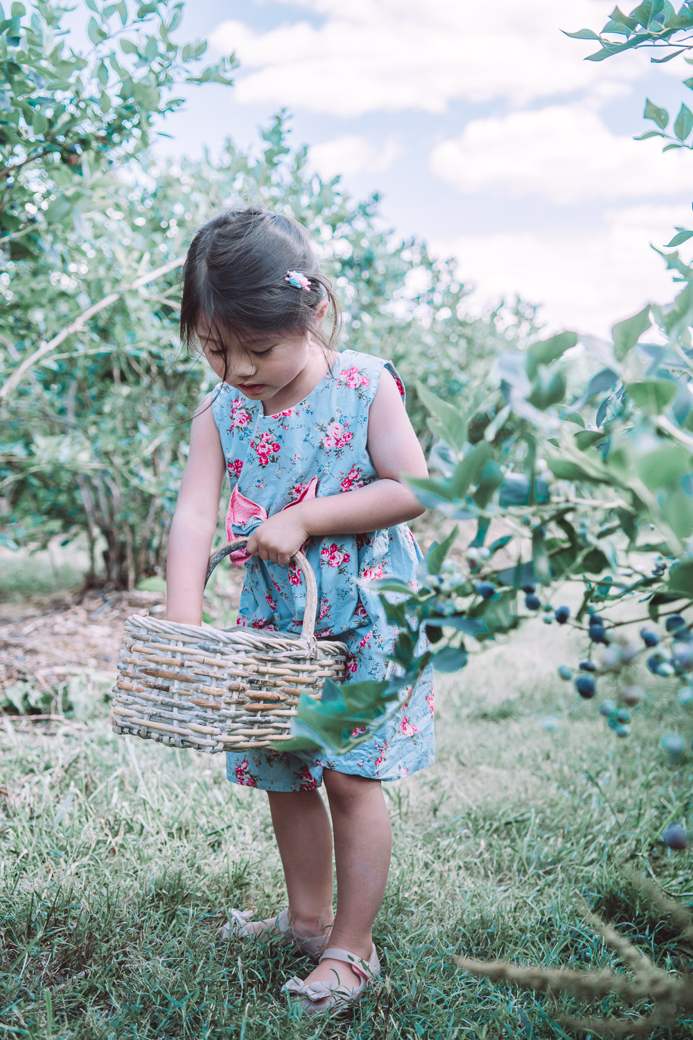 butlers orchard blueberry picking