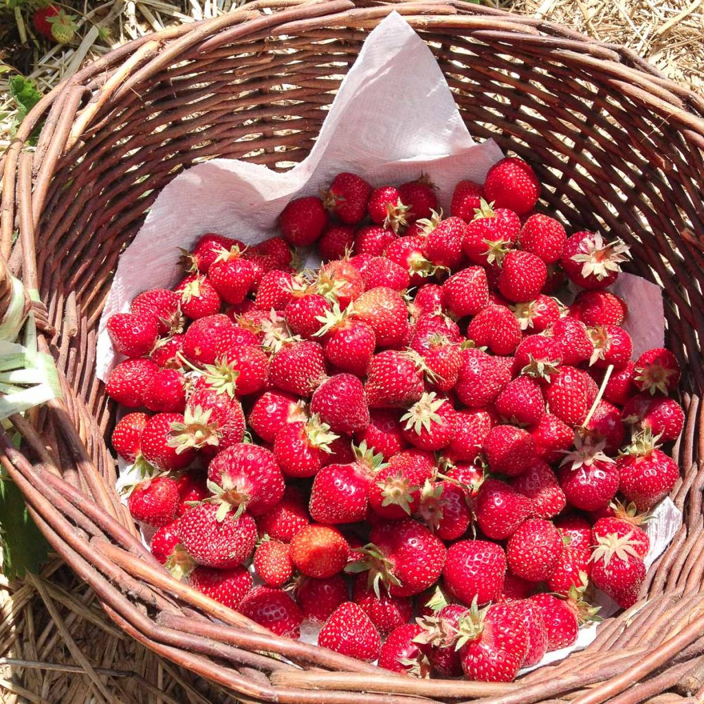 pick your own strawberries maryland