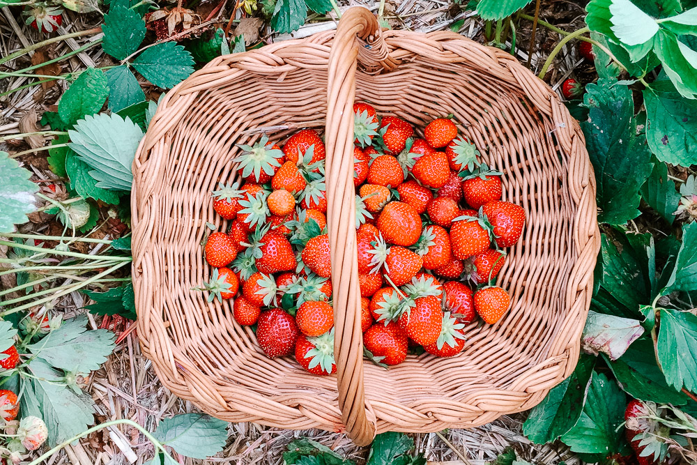 butlers orchard strawberry picking