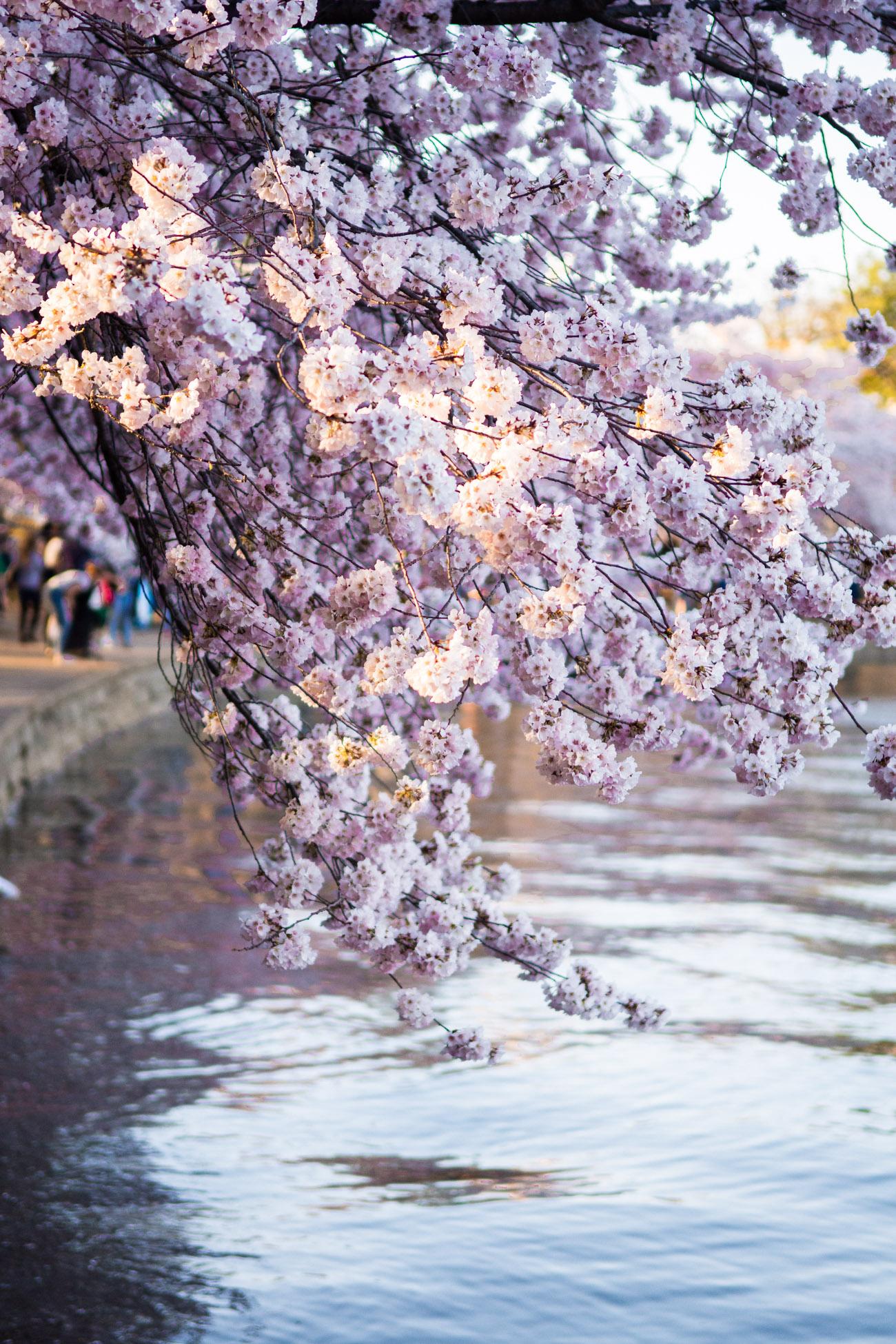 cherry blossom flowers dc