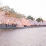 Cherry Blossom DC 2019, The Insider's Guide, Everything You Need to Know