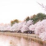cherry blossoms dc 2018 tidal basin