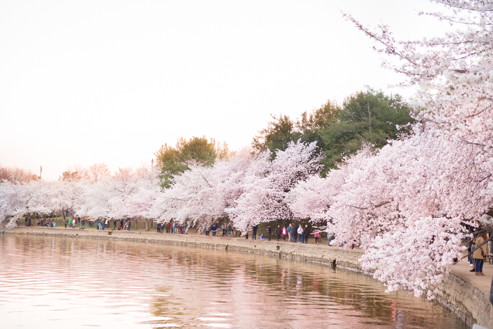 cherry blossoms dc 2020