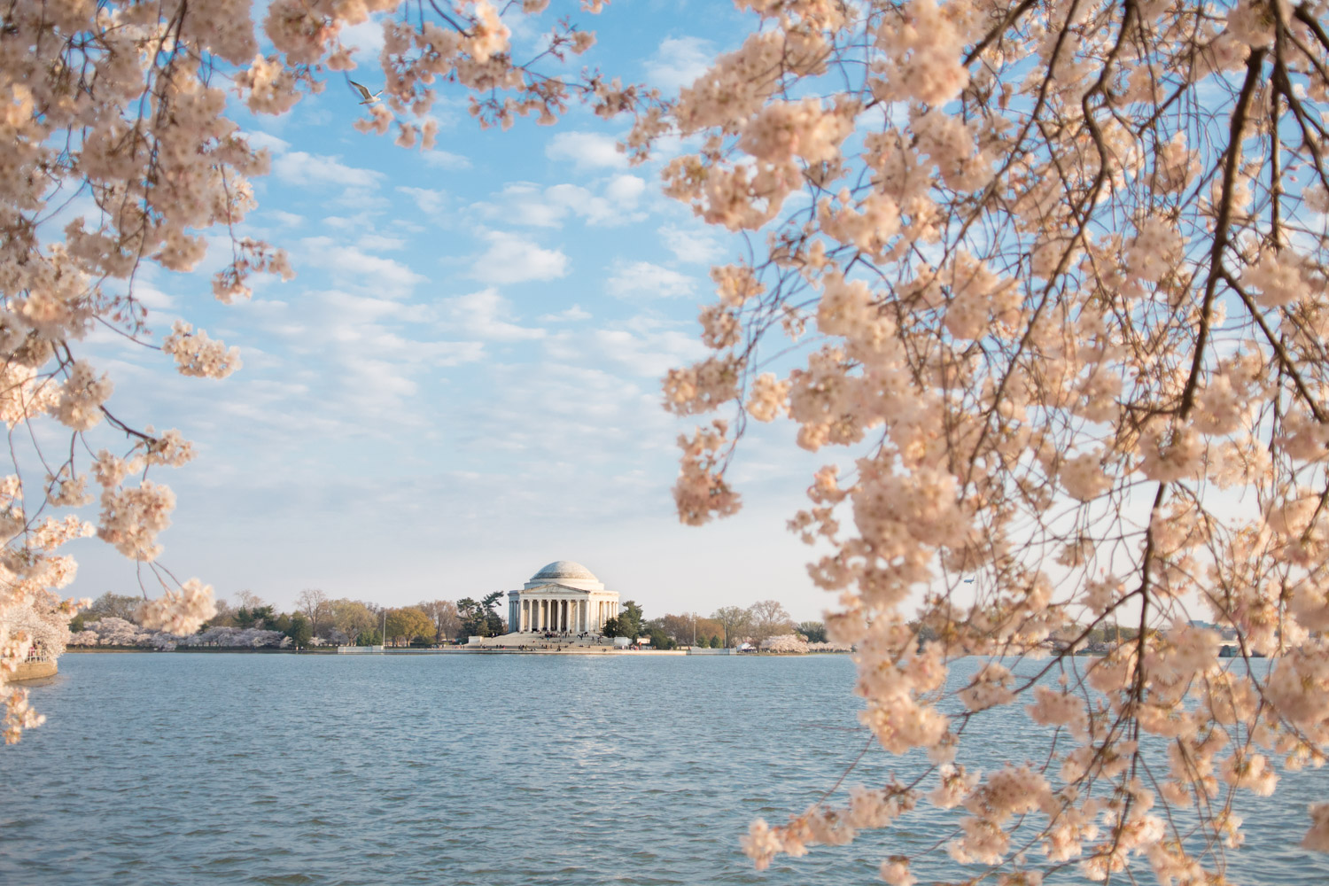 cherry blossoms washington dc best time to go