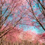 cherry blossoms dc 2019