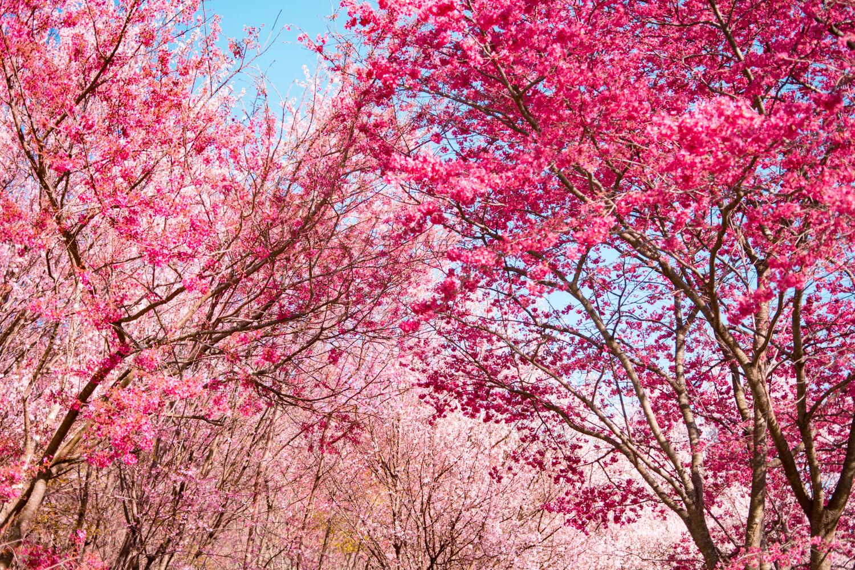 cherry blossom national arboretum