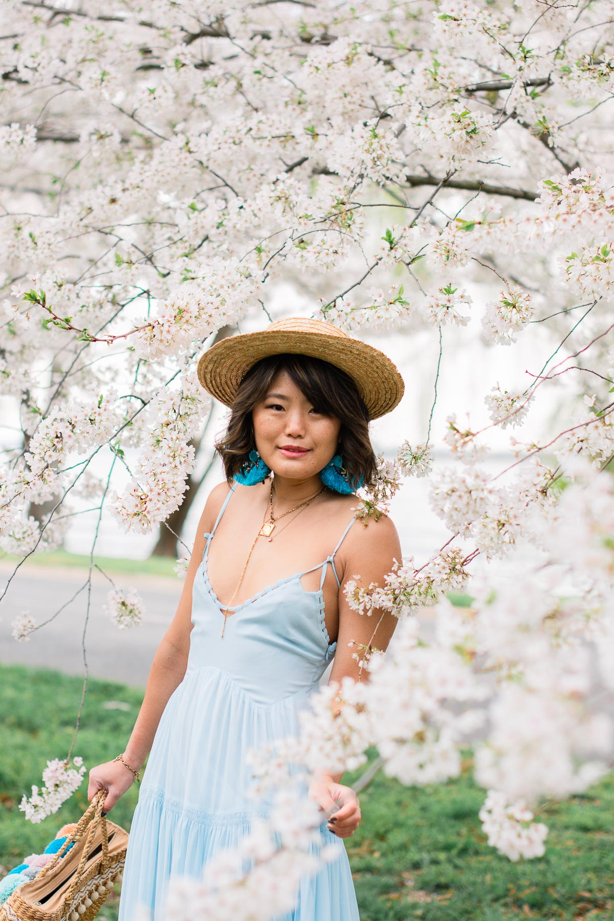 cherry blossoms dc update