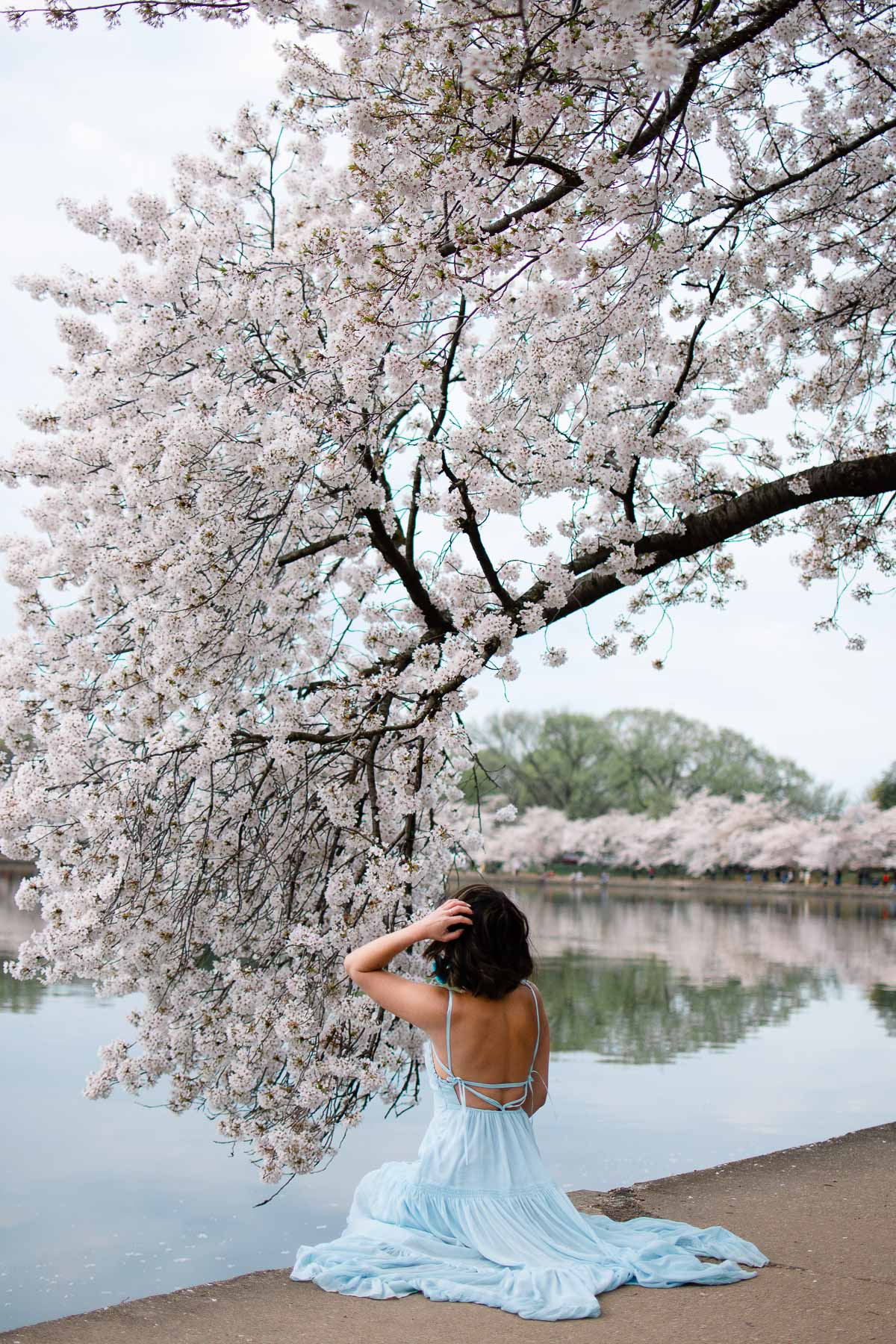 cherry blossoms dc update 2021