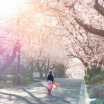 Ultimate Guide to Kenwood Cherry Blossoms in Bethesda Maryland