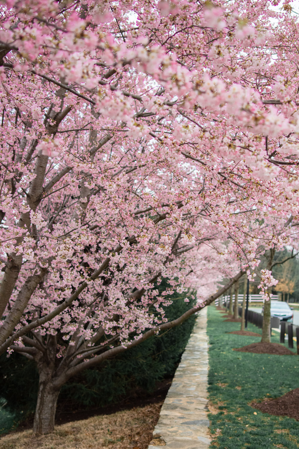 cherry blossoms in rockville md