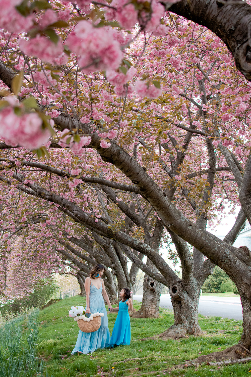 cherry blossoms rockville maryland