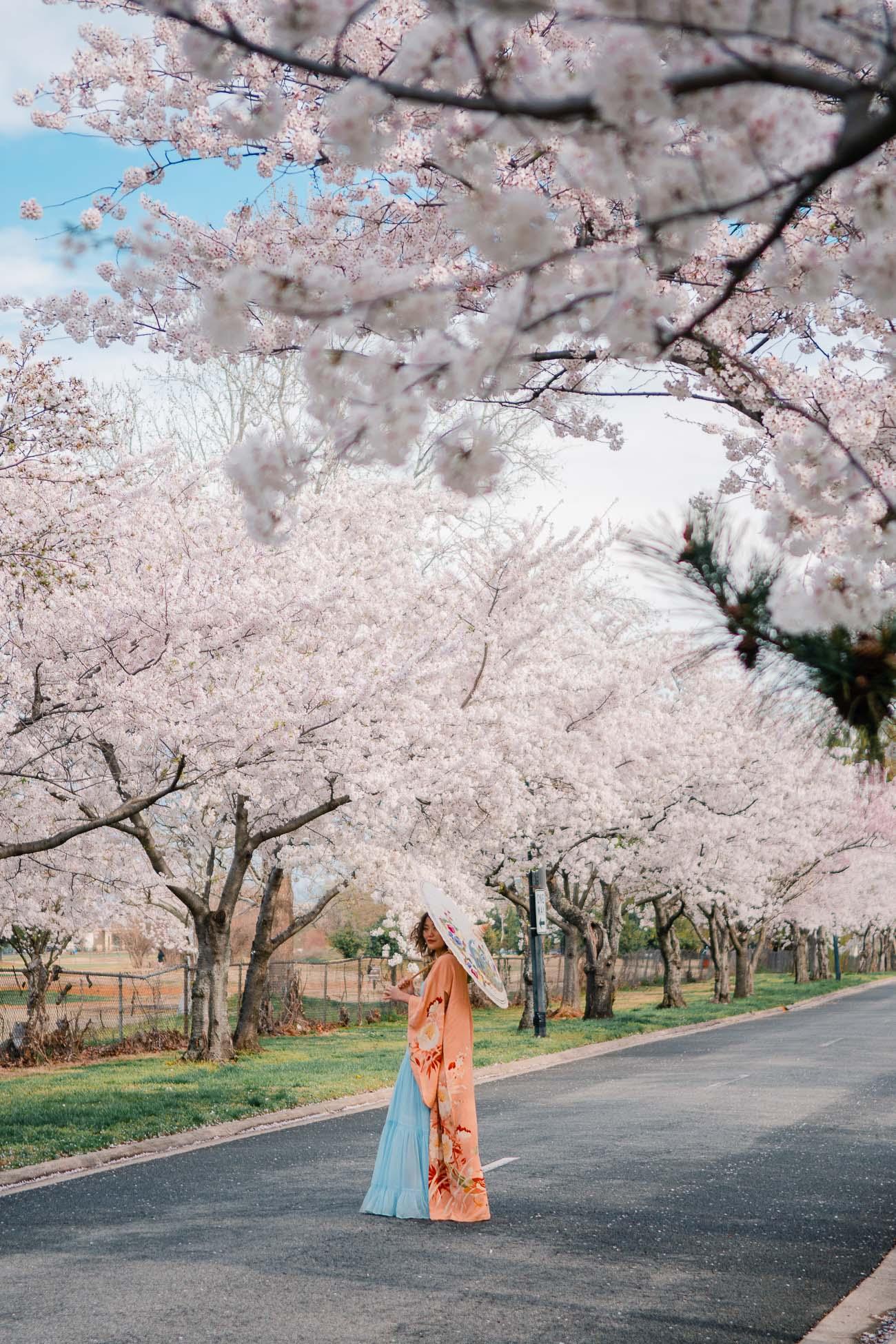 The 2021 Guide To Washington Dc Cherry Blossom Peak Bloom