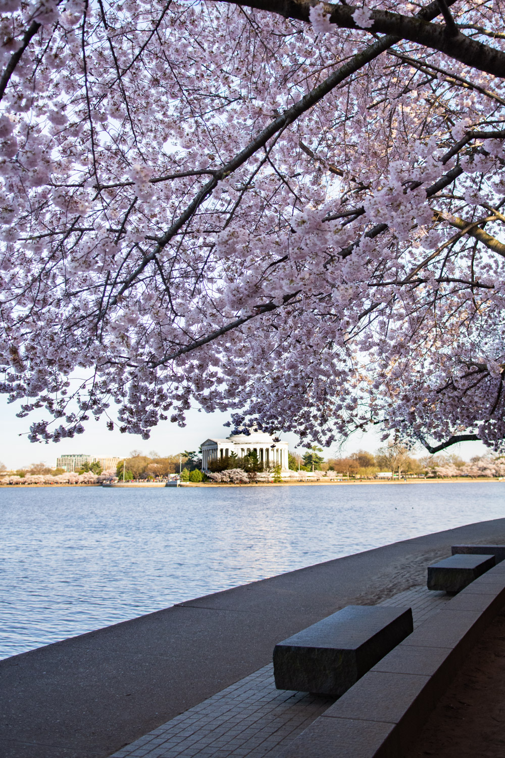 when to see cherry blossoms in dc