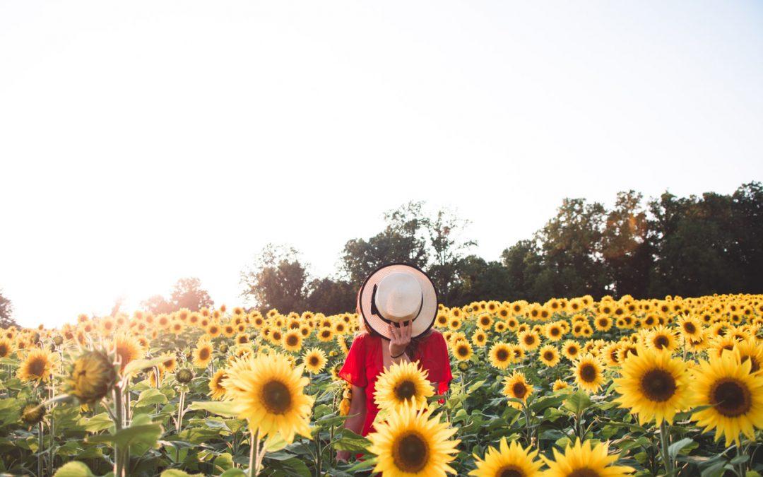 Clear Meadow Farm The Prettiest Sunflower Farm in Maryland