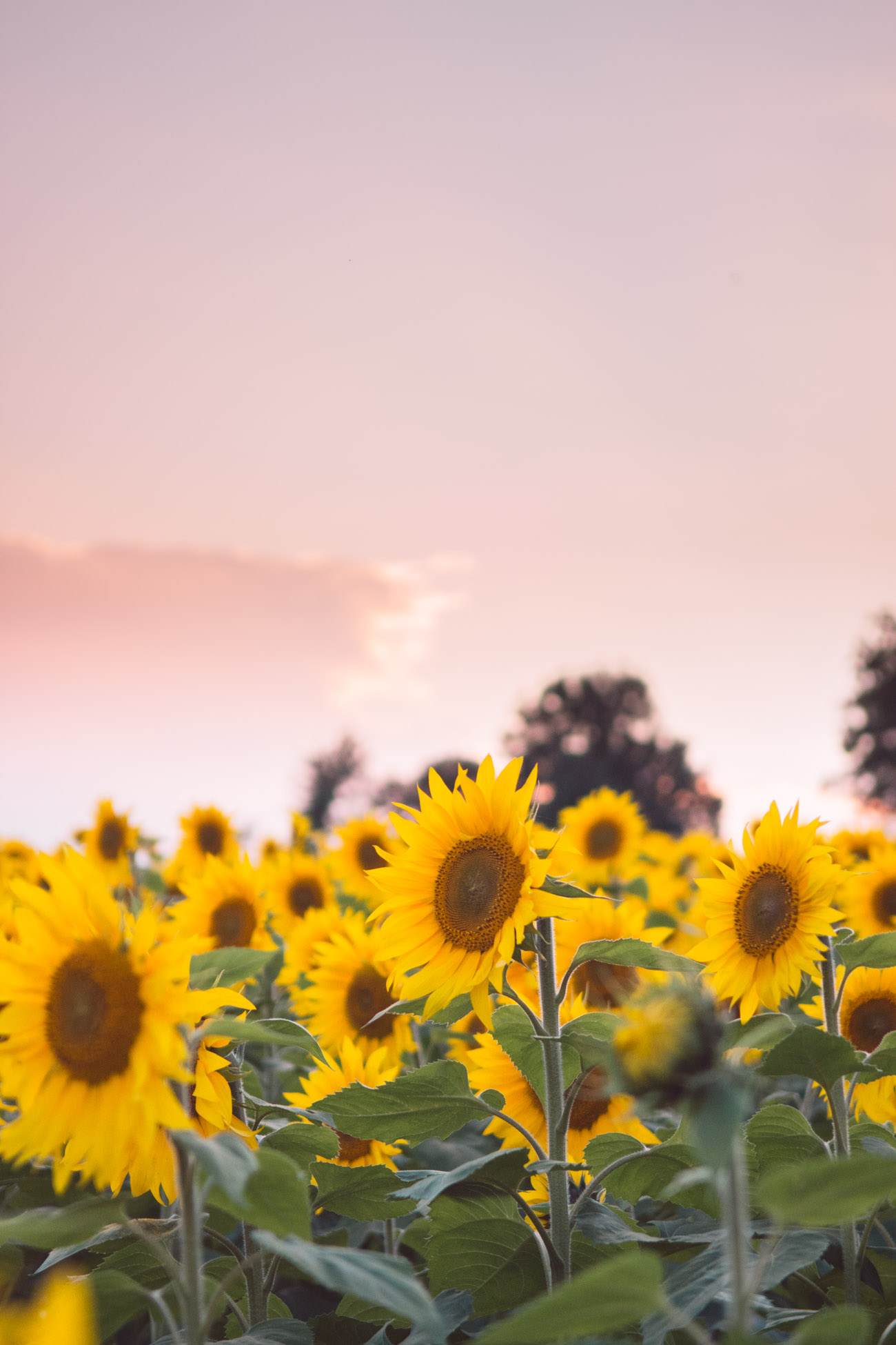 maryland sunflower field