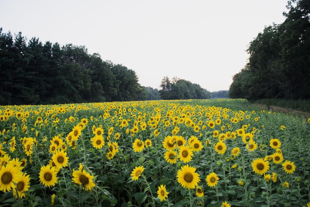 mckee beshers sunflowers