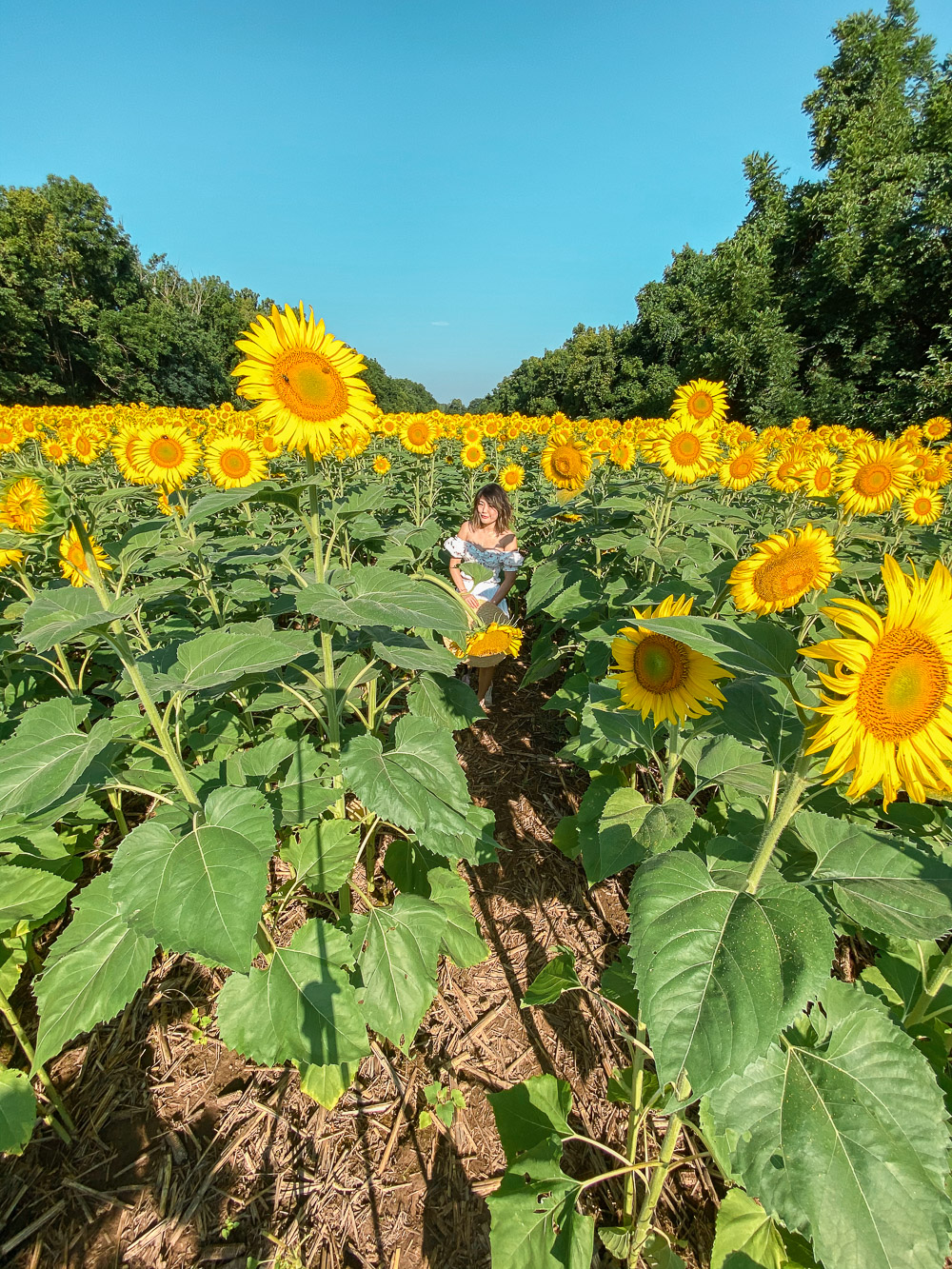 mckee beshers sunflowers field 4