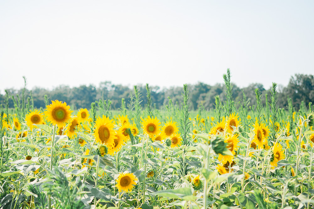 mckee beshers sunflowers 2021 field 3
