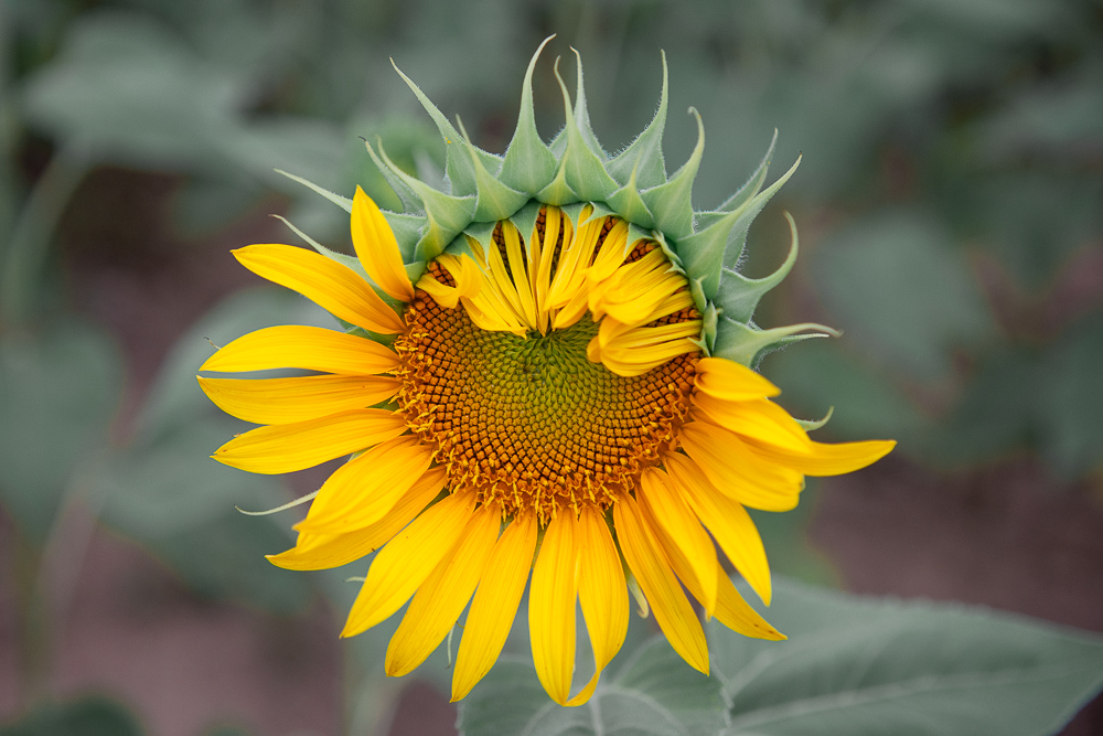 mckee beshers sunflowers 2021