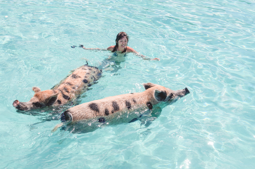 Swimming Pigs in Exuma Bahamas Everything You Need to Know