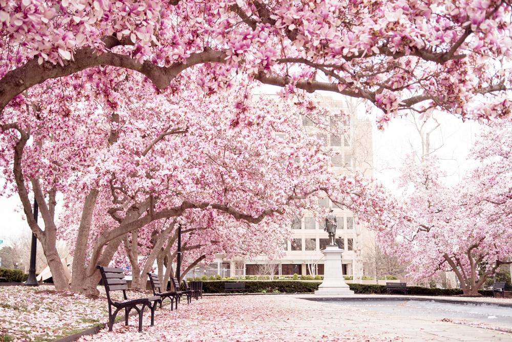rawlins park magnolias