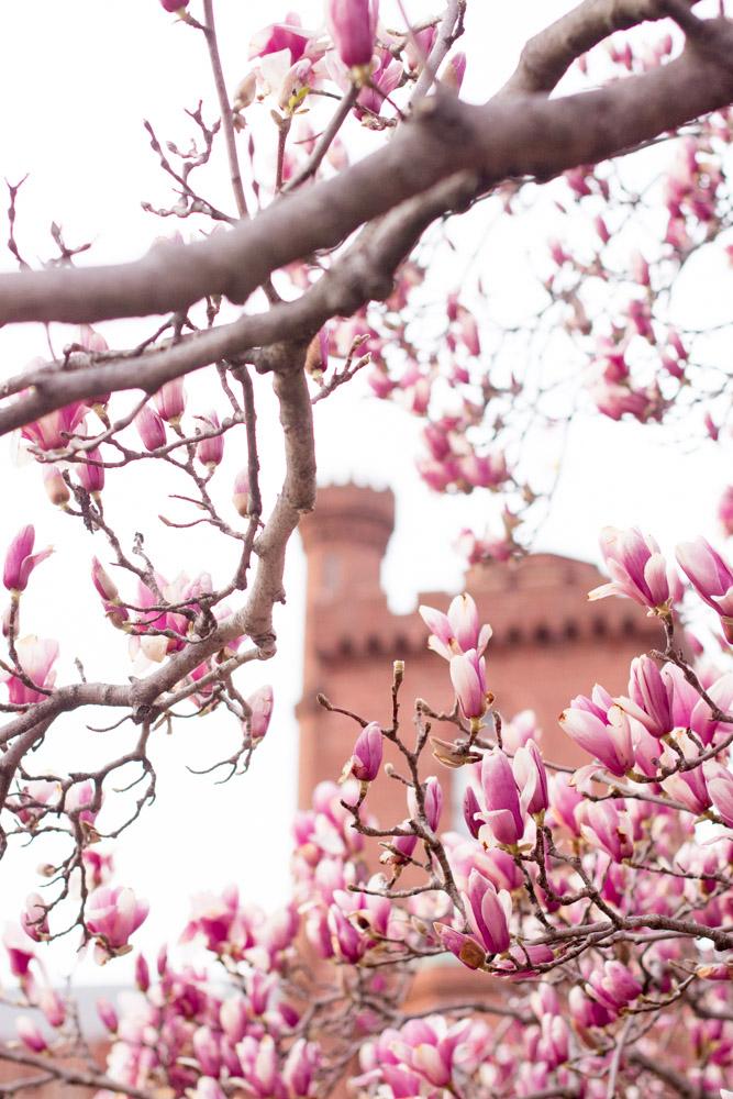 saucer magnolias dc
