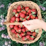 It's Strawberry Season in Maryland – 2021 Best Pick Your Own Fruit Farms