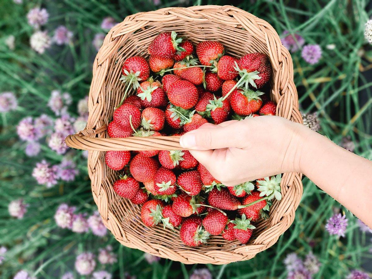 strawberry picking maryland