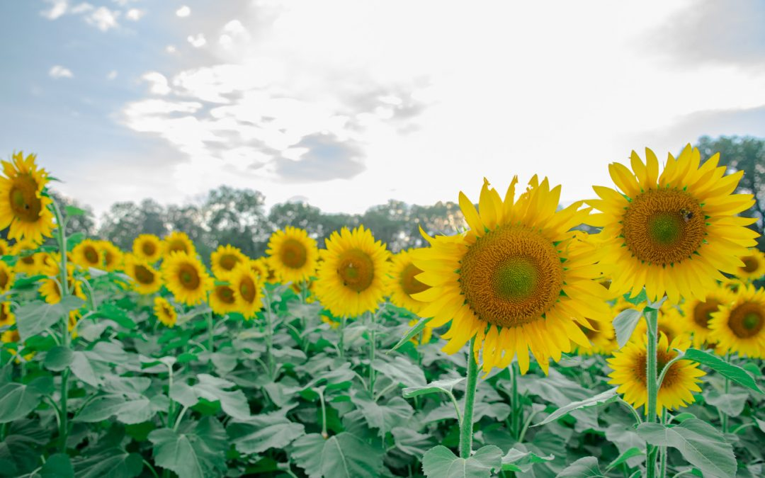 10 Sunflower Fields that are Blooming if You Missed McKee Beshers