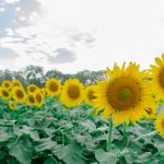 5 Sunflower Fields that are Blooming if You Missed McKee Beshers
