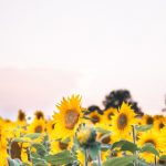 sunflower field maryland sunset
