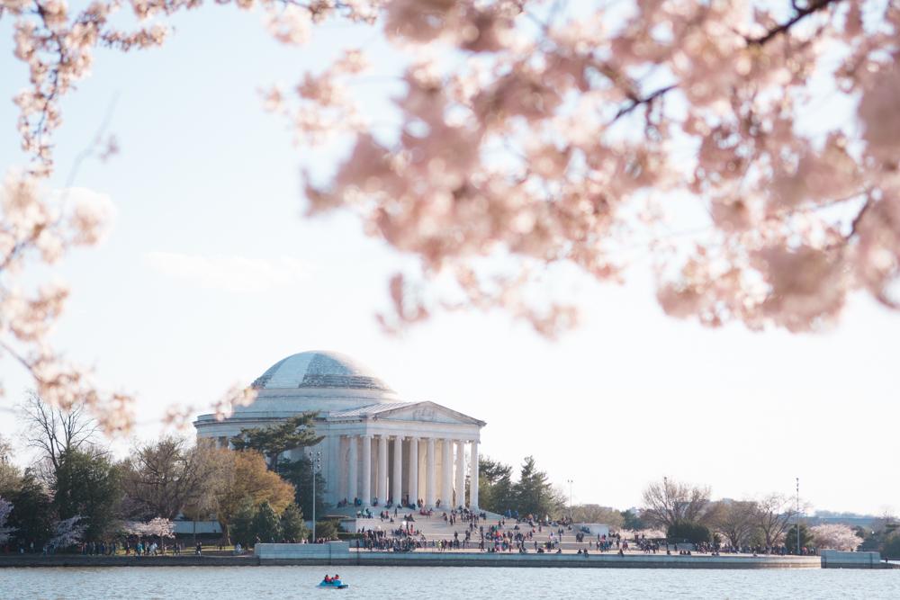 cherry blossoms dc peak bloom 2020