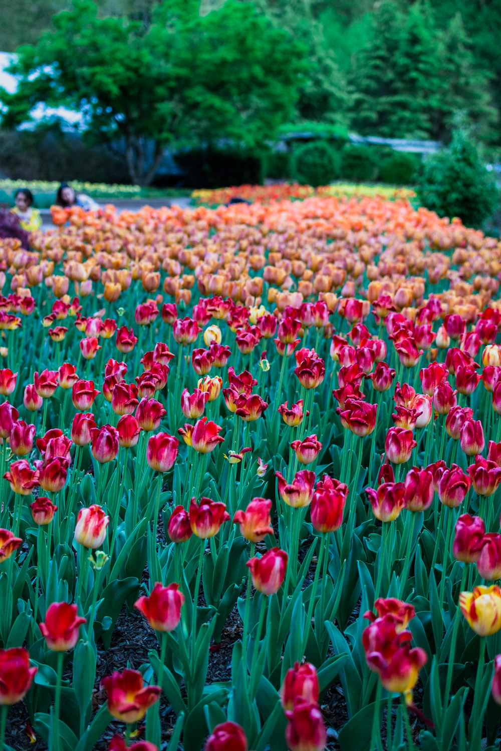 tulips washington dc