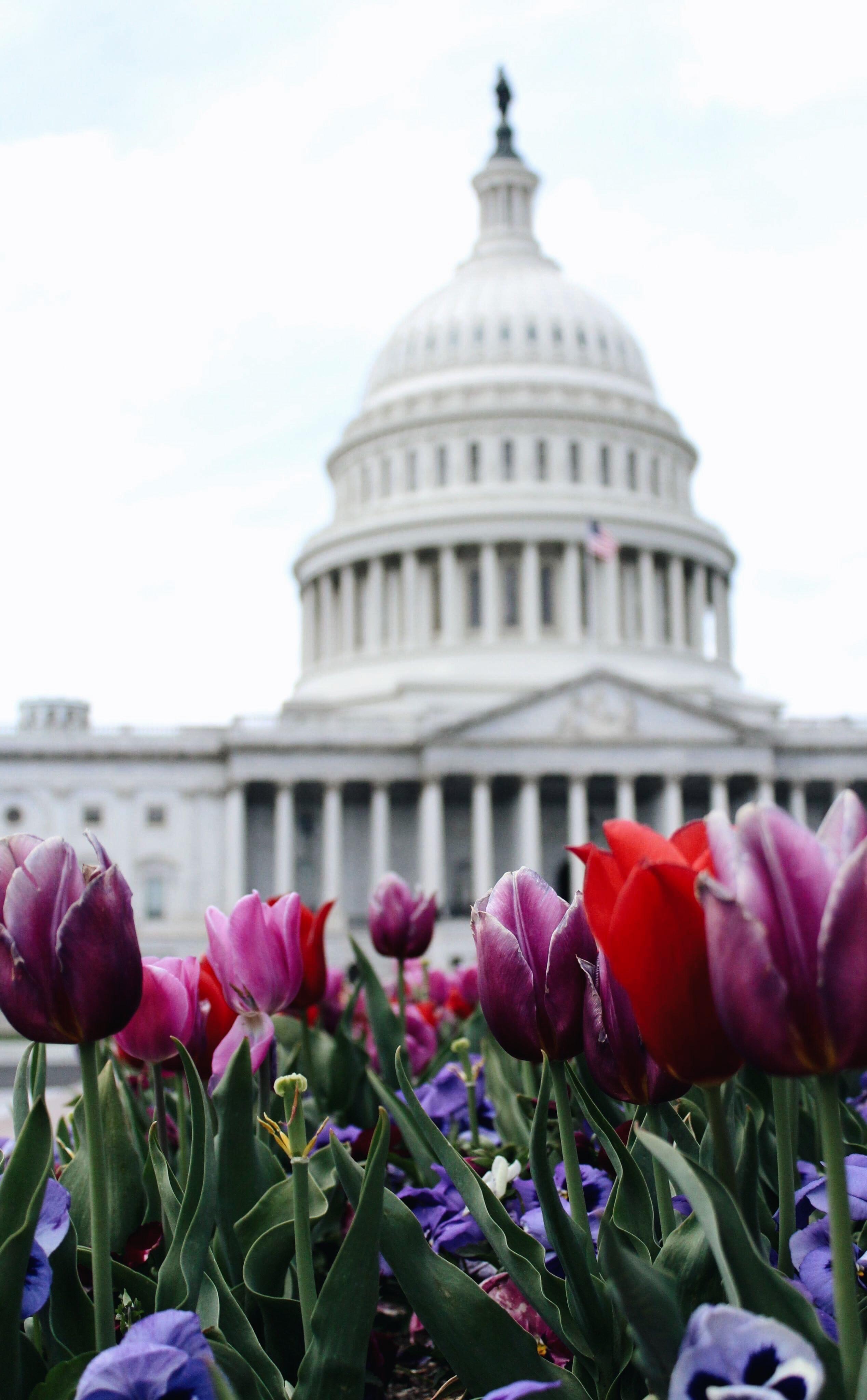 tulips dc