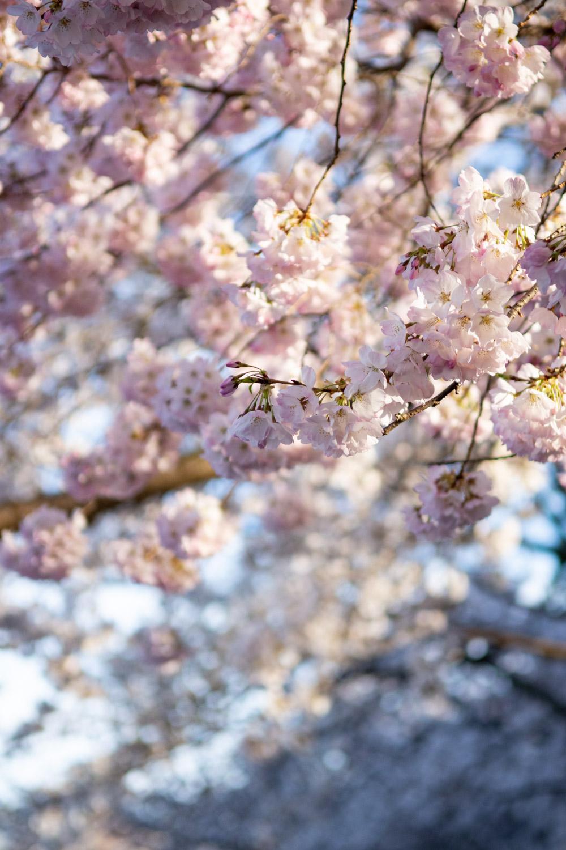 cherry blossoms dc peak bloom