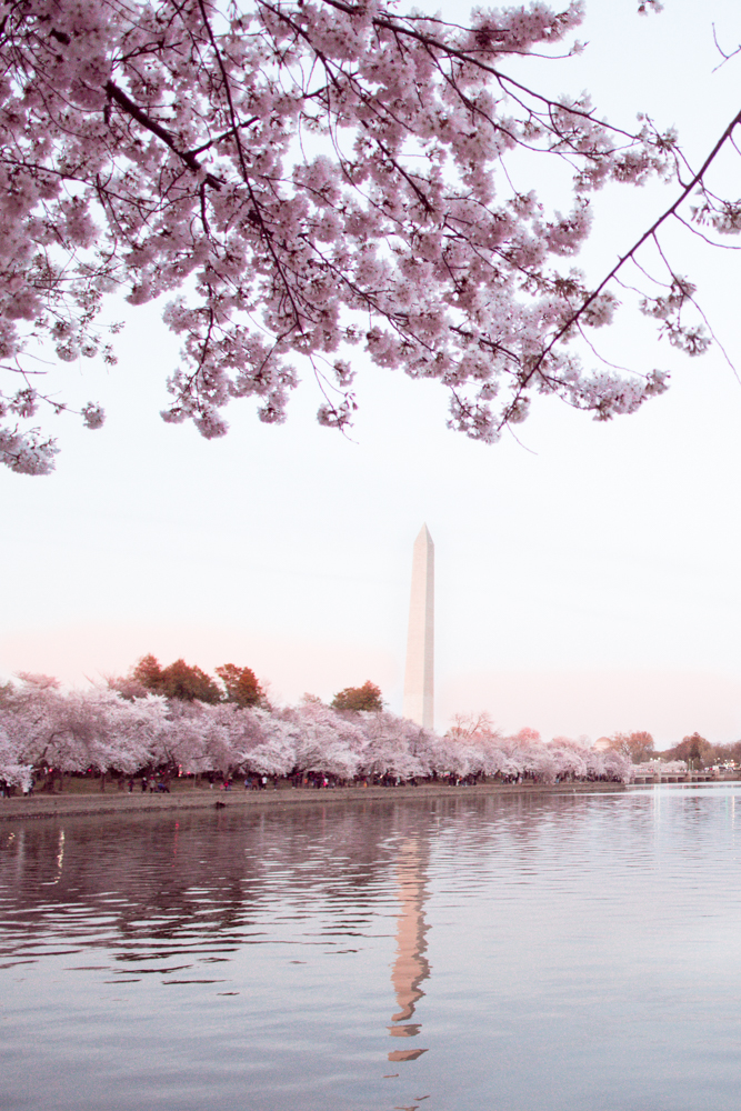 Cherry Blossoms DC 2019: Insider's Guide, Everything You