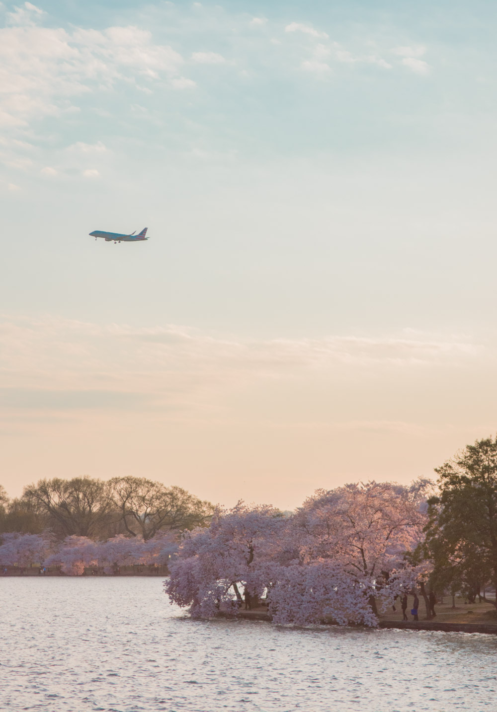 washington dc cherry blossom sunset