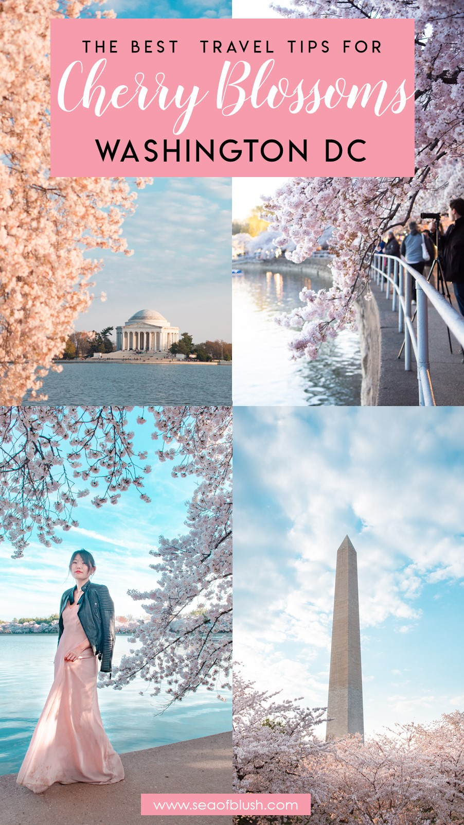 washington dc cherry blossom tips