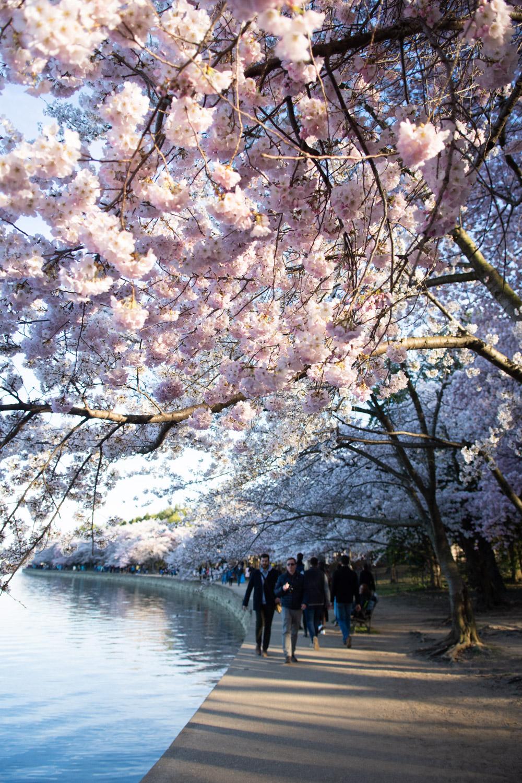 cherry blossom crowds dc