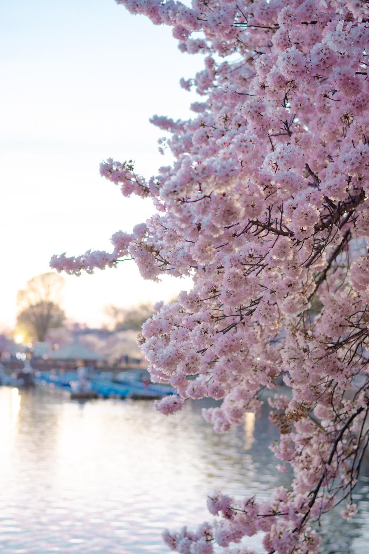 washington dc cherry blossom paddle boat