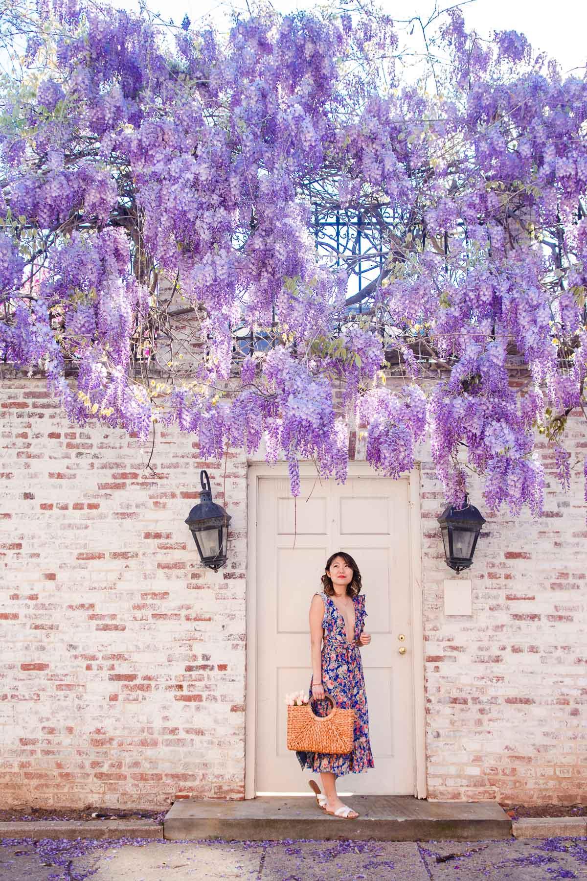 washington dc wisteria
