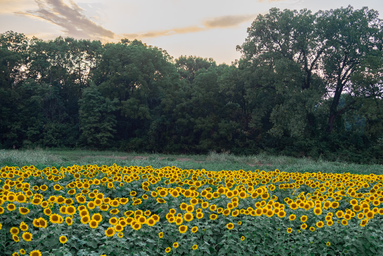 when do sunflowers bloom in maryland